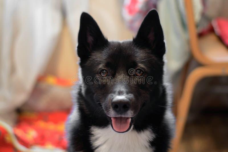 Dog Laika Russo-European stock images