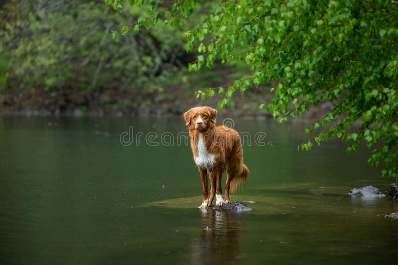 Dog on the lake on the stone. Nova Scotia Duck Tolling Retriever in nature. Pet for a walk. Dog on the green lake on the stone. Nova Scotia Duck Tolling royalty free stock photo