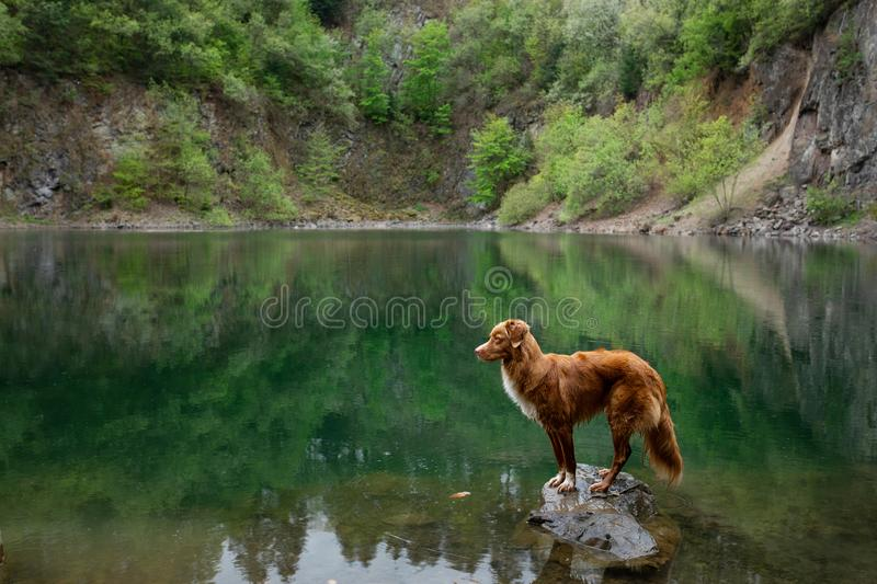Dog on the lake on the stone. Nova Scotia Duck Tolling Retriever in nature. Pet for a walk. Dog on the green lake on the stone. Nova Scotia Duck Tolling stock image
