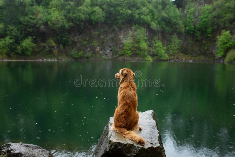 Dog on the lake on the stone. Nova Scotia Duck Tolling Retriever in nature. Pet for a walk. Dog on the green lake on the stone. Nova Scotia Duck Tolling stock images