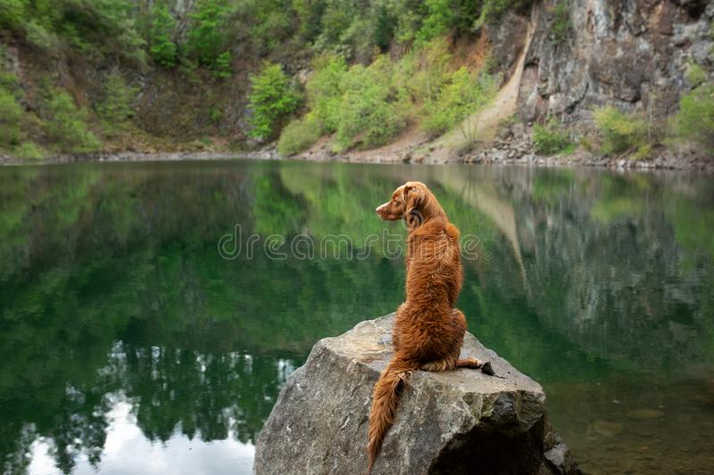 Dog on the lake on the stone. Nova Scotia Duck Tolling Retriever in nature. Pet for a walk. Dog on the green lake on the stone. Nova Scotia Duck Tolling royalty free stock image