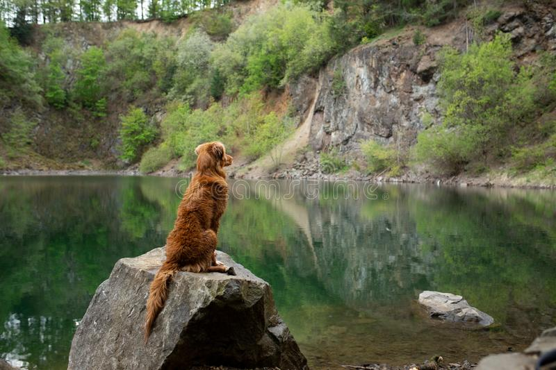 Dog on the lake on the stone. Nova Scotia Duck Tolling Retriever in nature. Pet for a walk. Dog on the green lake on the stone. Nova Scotia Duck Tolling stock photo