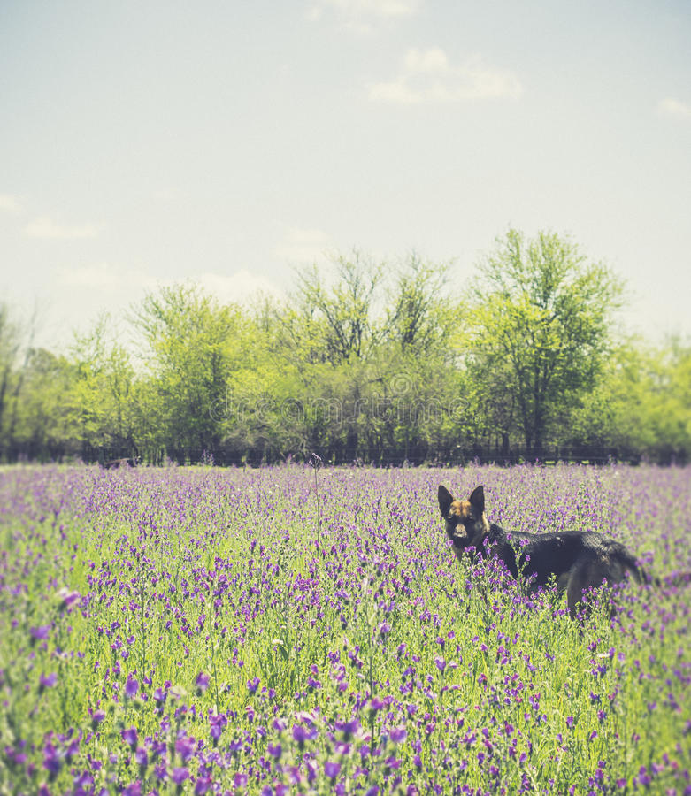 Dog in landscape of field with sunlight royalty free stock images