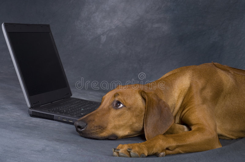 Download Dog with laptop stock image. Image of easy, brown, hands - 7106543