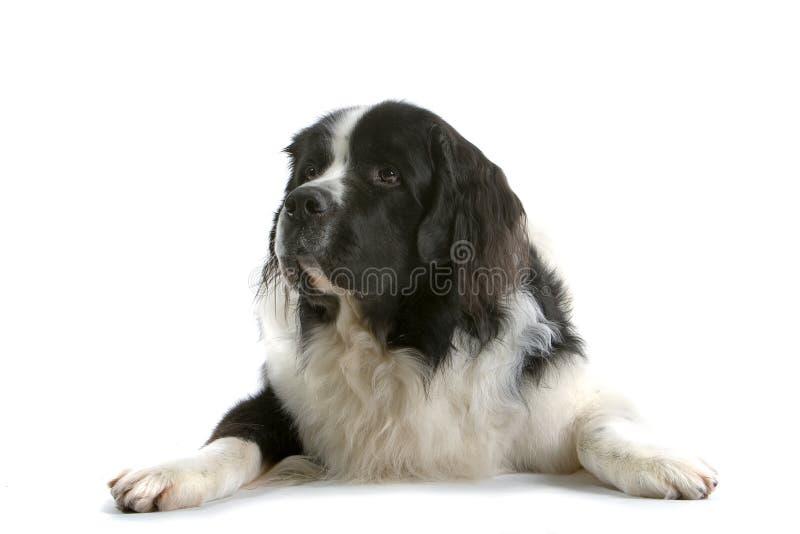 Dog Laying Down royalty free stock image