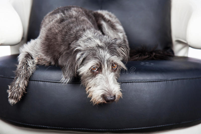 Dog Laying On furniture With Pawprint royalty free stock images