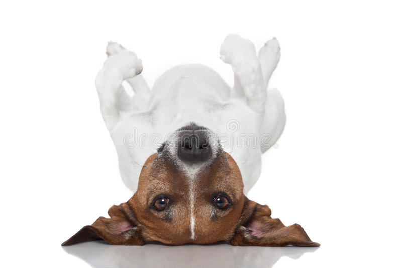 Dog laying upside down royalty free stock photography