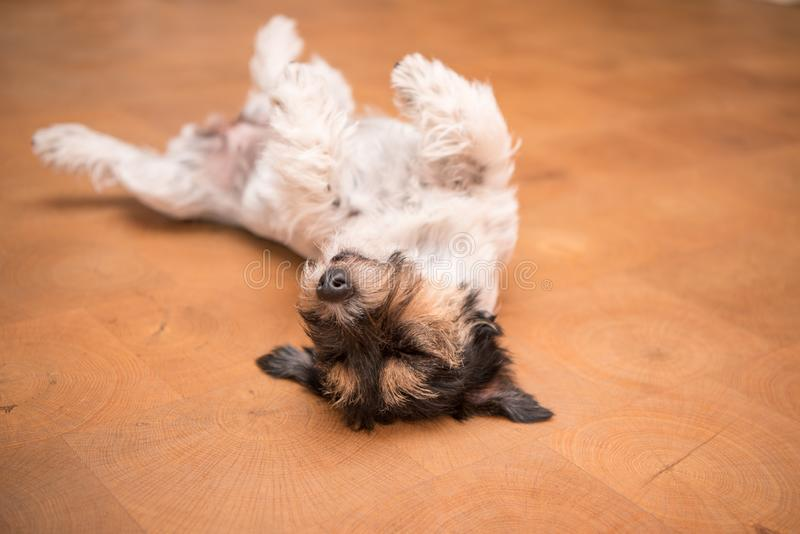 Dog laying upside down on back. Naughty Jack Russell Terrier doggy stock photo