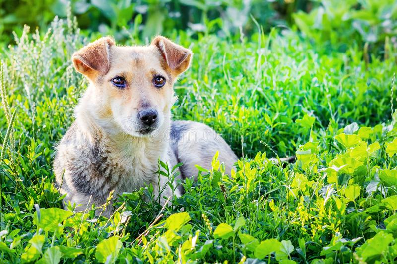 The dog lays on the grass in the garden on a summer sunny day_ royalty free stock image