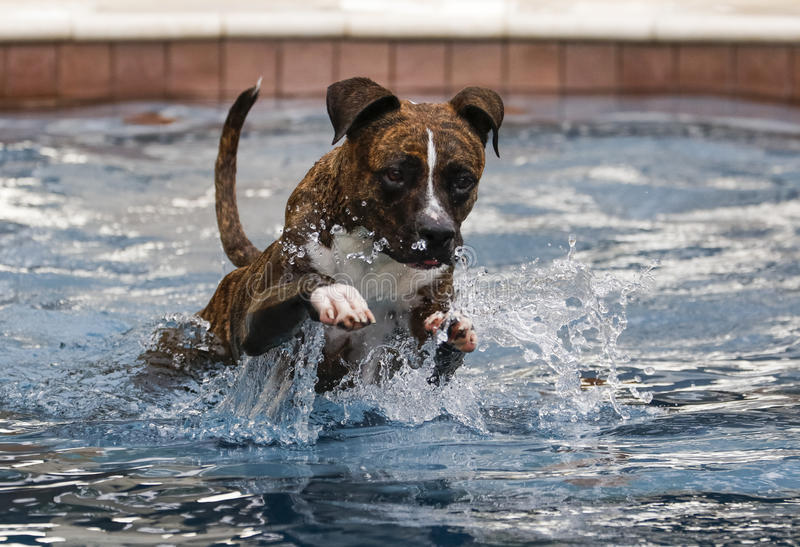 Dog leaping through the pool. A dog leaping through the pool to get a toy stock image