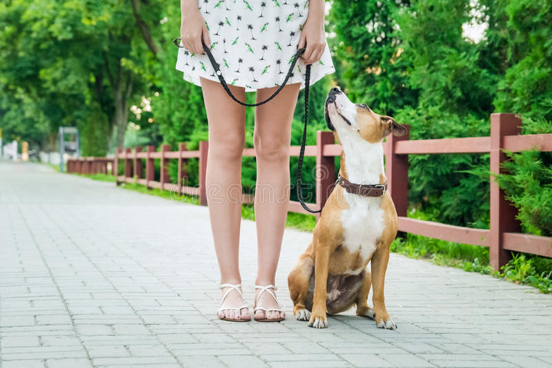 Dog on a leash looking and listening to her owner stock photography