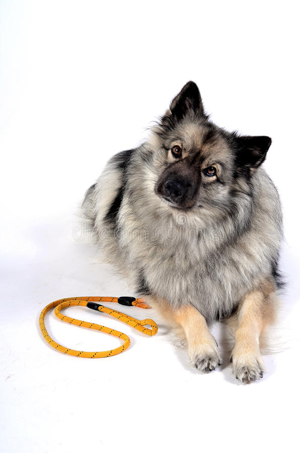 A dog leash. A dog walk with a leash royalty free stock photography