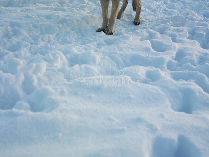 Dog legs standing on the snow. A dog legs standing on the snow, outdoor cropped shot stock photo