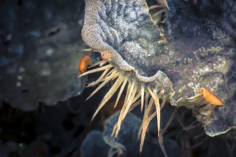 Dog Lichen Peltigera membranaceae royalty free stock image