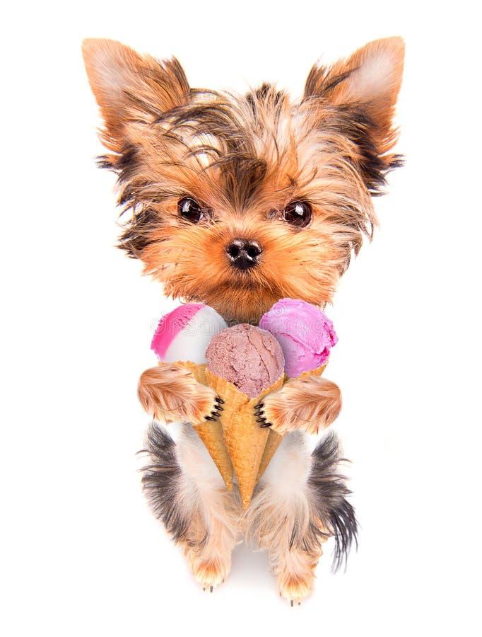 Dog licking with ice cream royalty free stock image