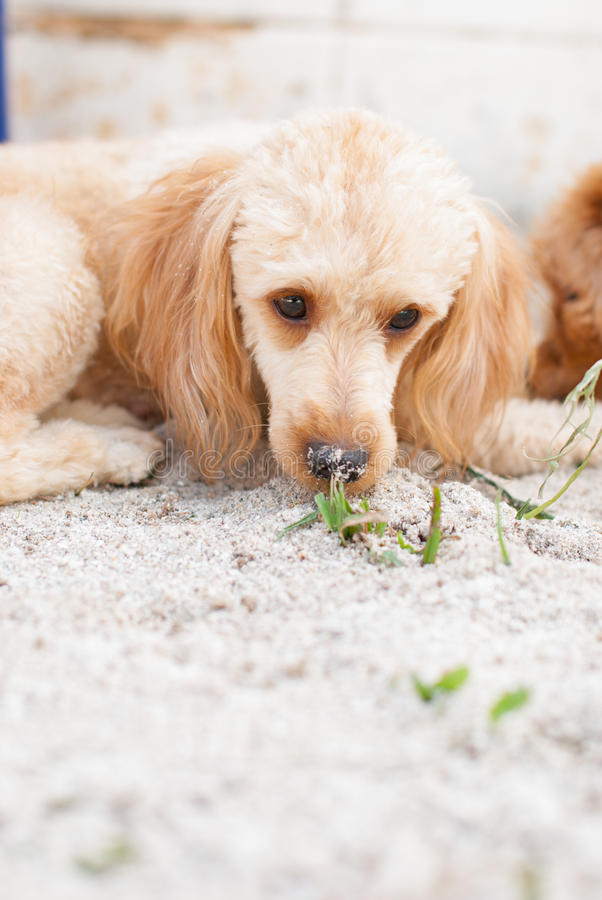 Dog Lie Down On Sand Royalty Free Stock Images