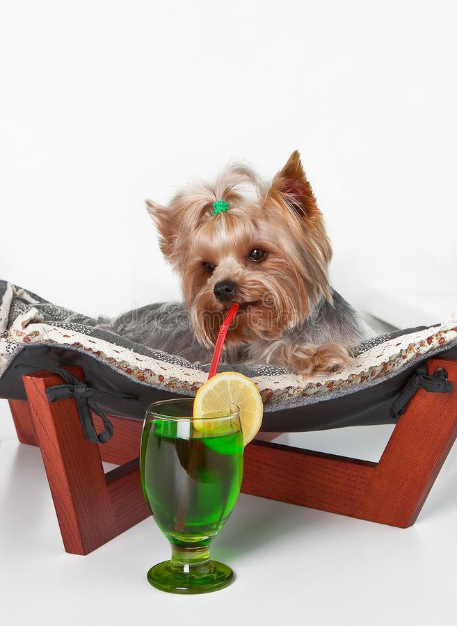 The dog lies on the couch with a straw in his mouth and drinks a cocktail of lemon royalty free stock image