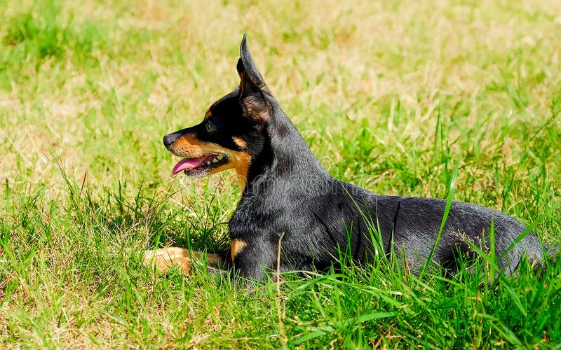 Dog lies on the grass. The miniature Pinscher. royalty free stock photo