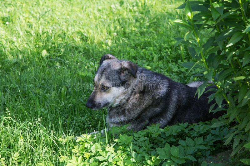 The dog lies on the grass in the summer. In the shade of bushes royalty free stock photos