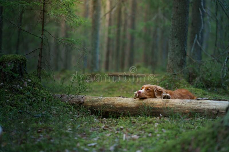 Red dog in forest. Nova Scotia Duck Tolling Retriever in nature. Walk with a pet stock image