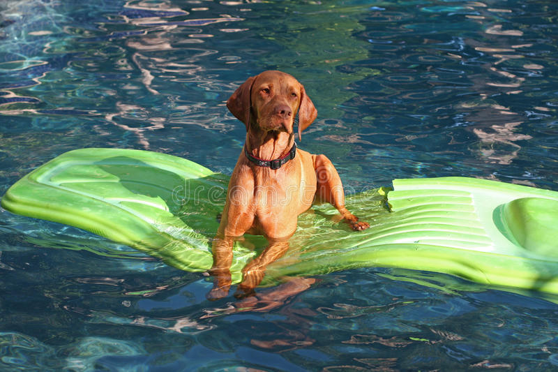 Dog lies on raft in pool. A talented dog, breed is Vizsla, is lying on a lime green rubber raft in a swimming pool stock photos