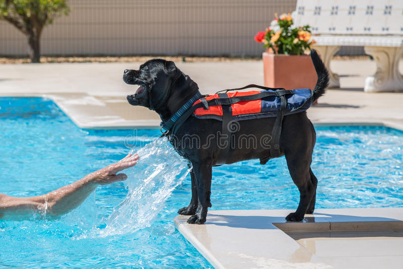 Dog in life jacket playing by a swimming pool. Staffordshire bull terrier dog wearing a life jcaket, buoyancy aid by the side of a swimming pool, playing happily royalty free stock photos