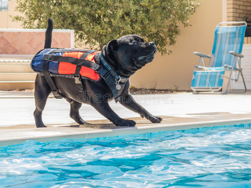 Dog in life jacket playing by a swimming pool. Staffordshire bull terrier dog wearing a life jcaket, buoyancy aid by the side of a swimming pool, playing happily royalty free stock photo
