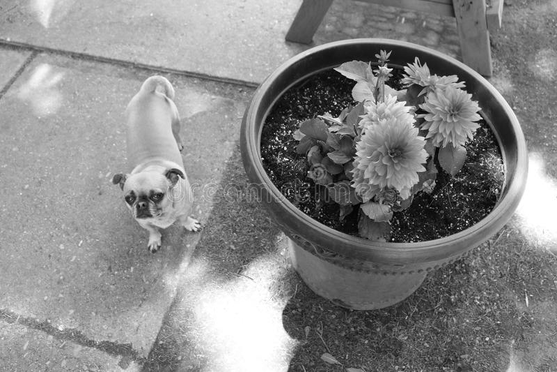Dog Like Mammal, Dog, Black And White, Mammal stock photography
