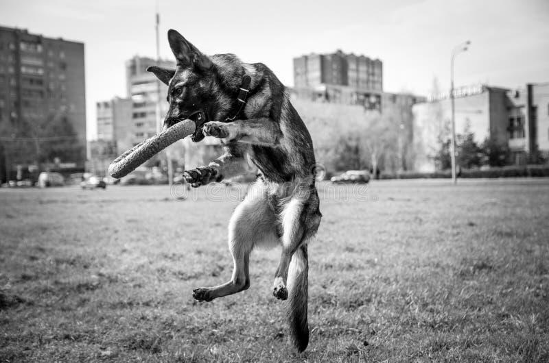 Dog, Dog Like Mammal, Mammal, Black And White royalty free stock images