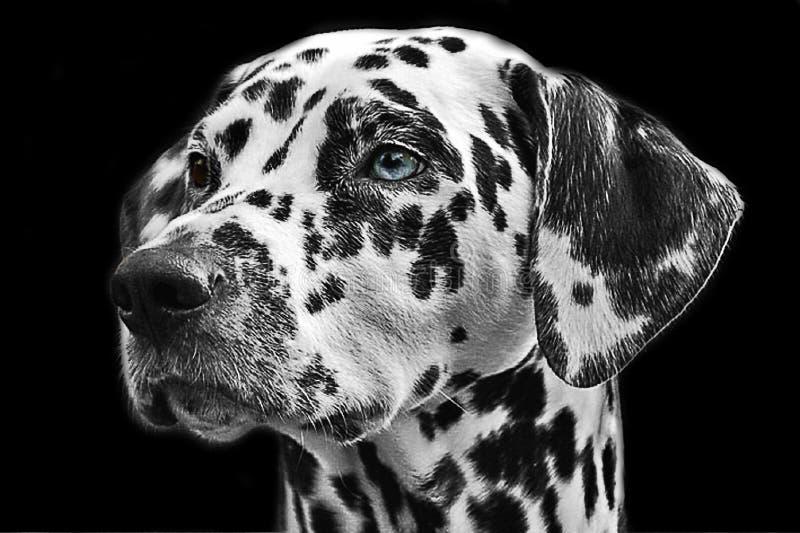 Dog Like Mammal, Dog, Black And White, Black royalty free stock photo