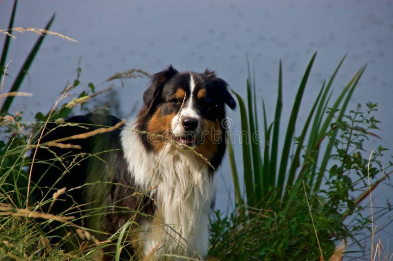 Dog, Dog Like Mammal, Dog Breed, Australian Shepherd royalty free stock photography