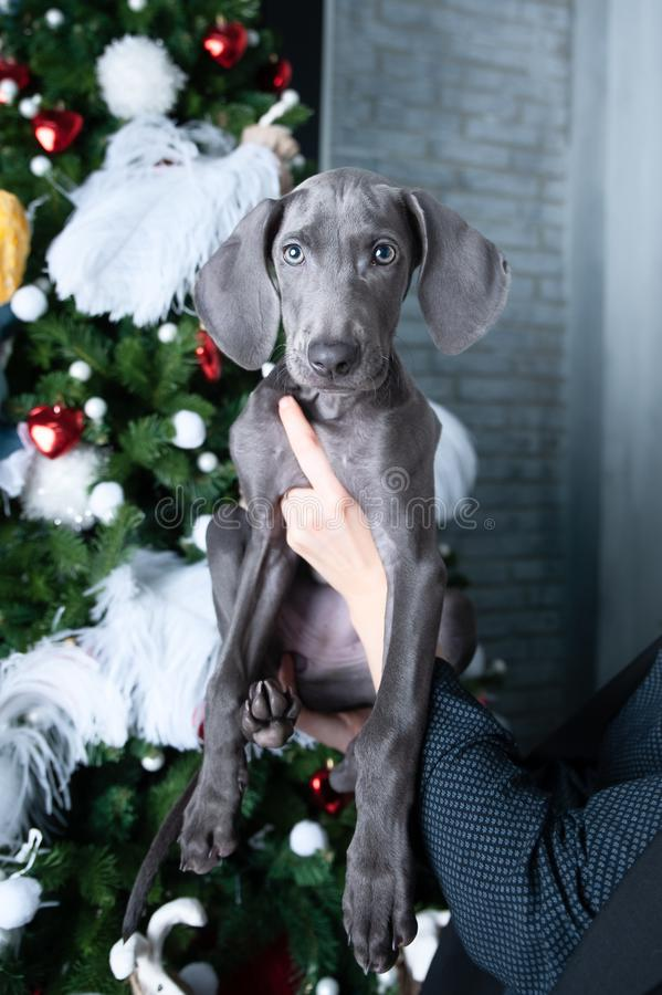 Dog is like a New Year`s present. Cute dog Weimaraner puppy before the Christmas tree as a gift. Dog is like a New Year`s present.  dog Weimaraner puppy before stock photos