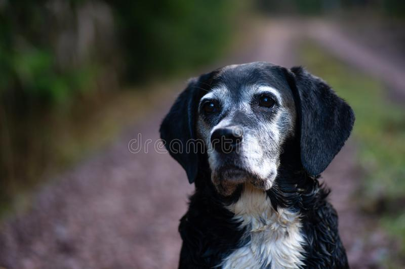The Dog LIsa 10 Years Old royalty free stock photos