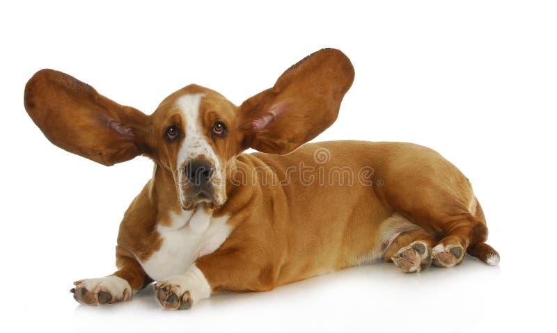 Dog listening. Basset hound with ears up listening