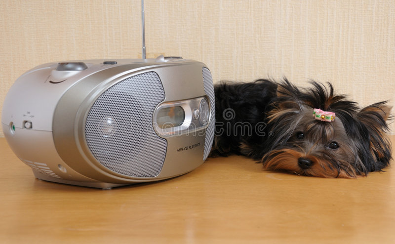 Dog listening to music stock photography