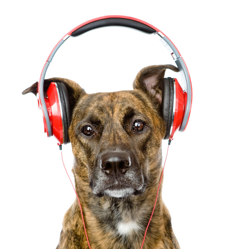 Dog listening to music on headphones. isolated on white stock photos