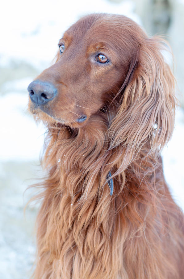 Dog look. Irish Setter looks into the distance, his head bowed slightly royalty free stock image