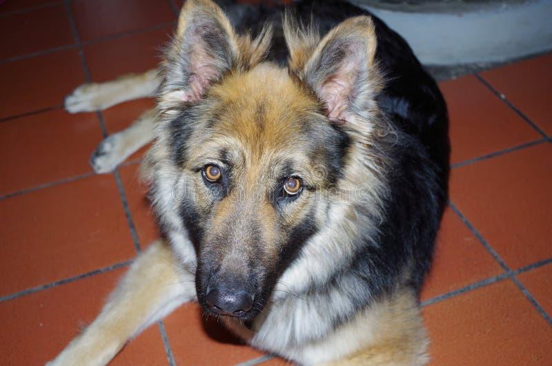 Dog look. royalty free stock image