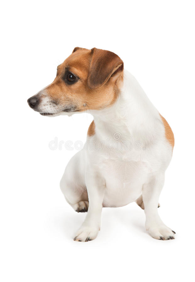 Dog look to the side. Cute Jack Russel terrier dog on white background. Studio shot royalty free stock photos