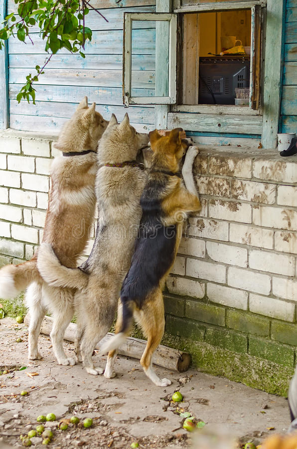 Download Dog Look In A Window Outside The House Stock Image   Image Of  Brick,