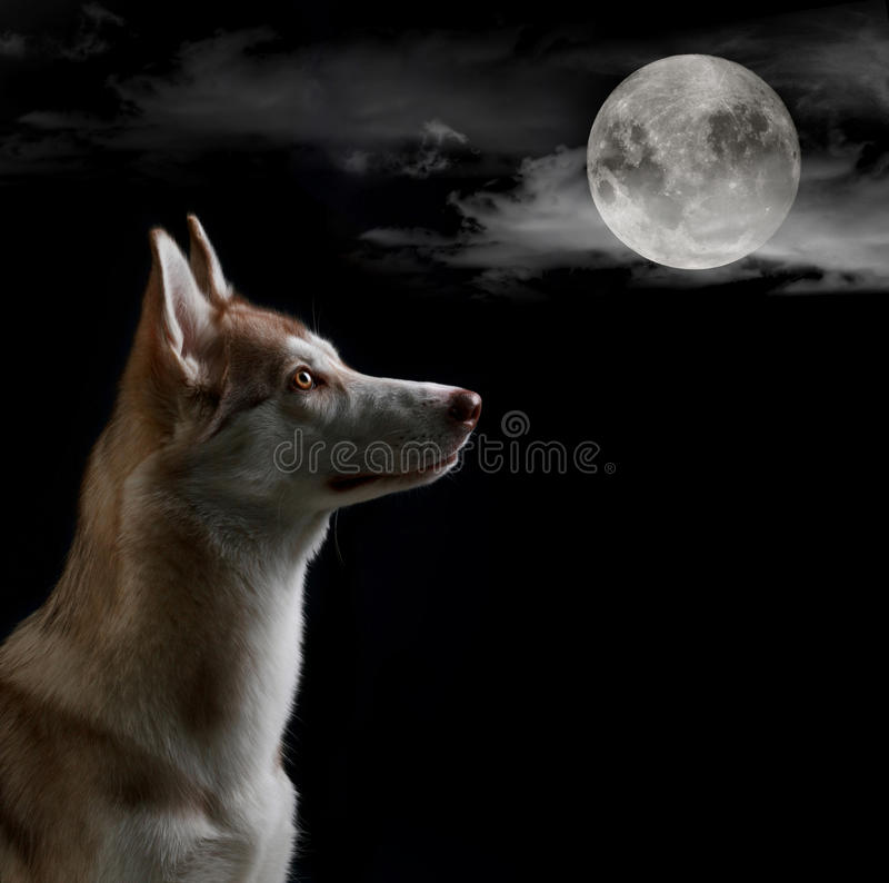 Dog is looking on the full moon stock photos