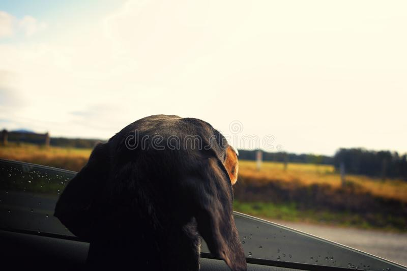 Dog looking out car window stock photos