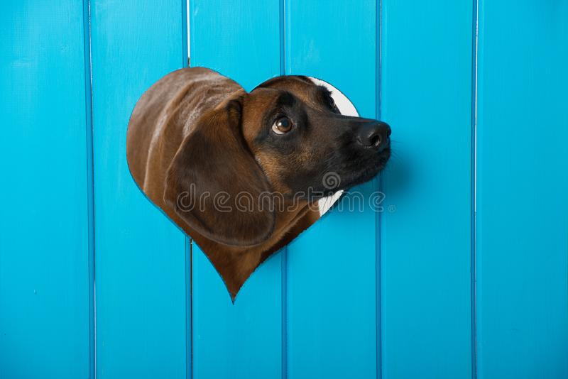 Dog looking out of a heart royalty free stock photography
