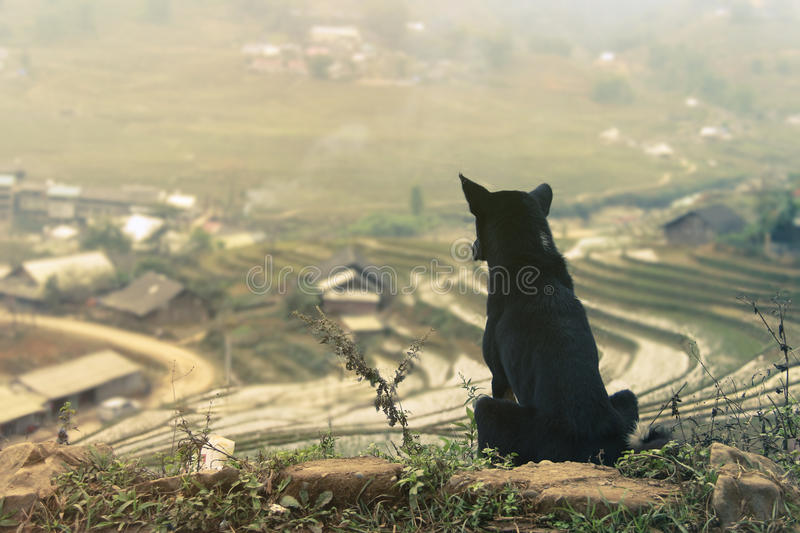 Dog is looking at a rice fields royalty free stock photo