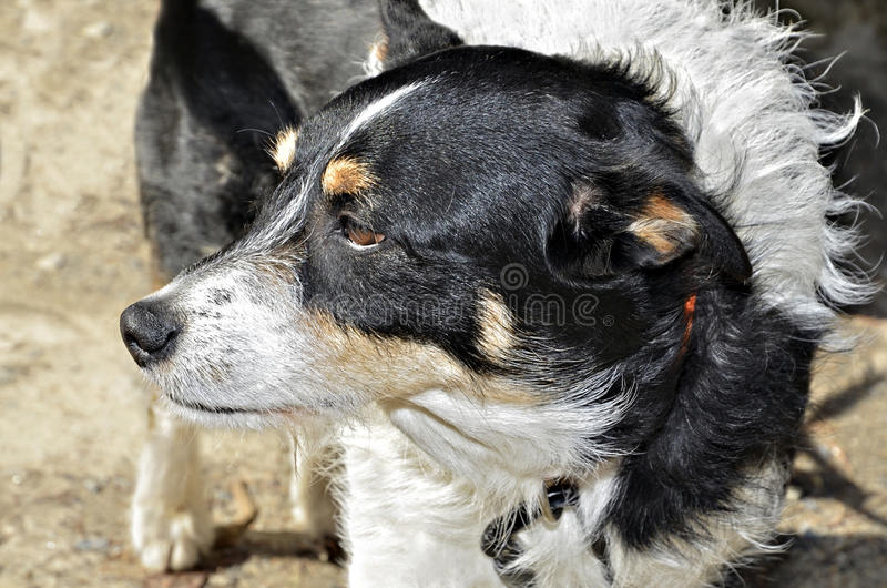 Dog Looking to the Side. A black and white dog looking off into the distance stock photo