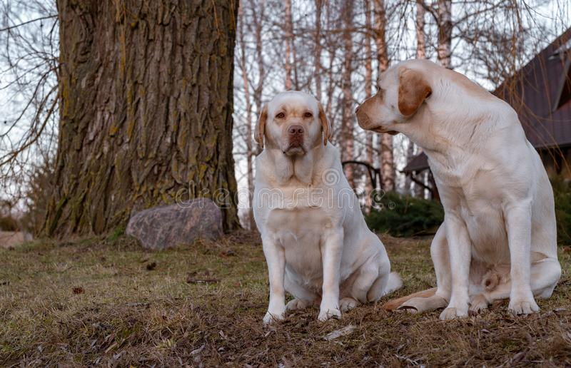 The dog looks at the bitch. Two yellow labrador retriever dogs sitting on the ground in a rural area, the dog looks at the bitch stock image