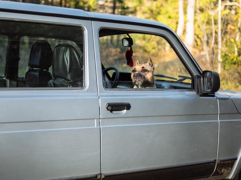 The dog looks out of the car stock image