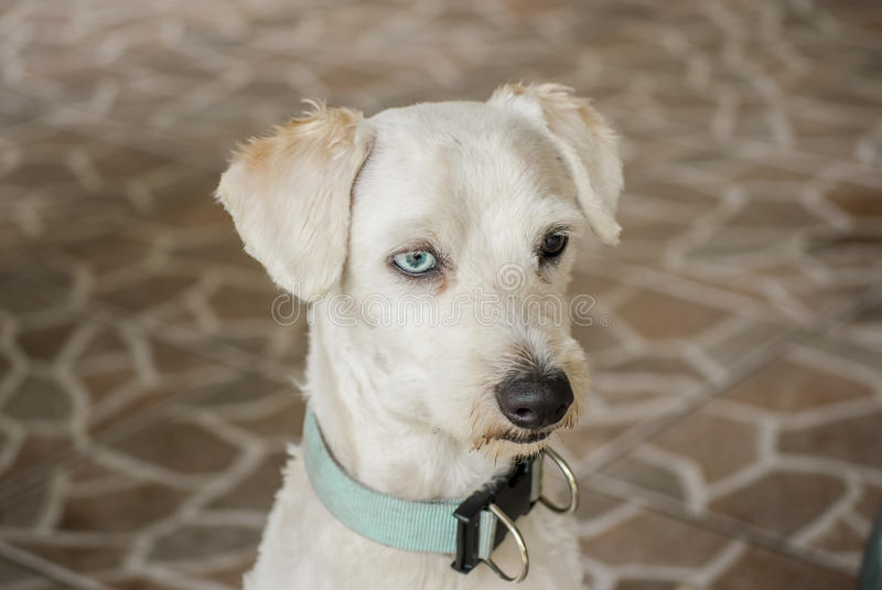 Dog with a lost look. A white dog with a lost look and beautiful eyes royalty free stock images
