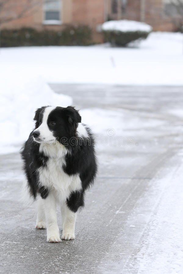 Dog lost in the street. Border Collie dog lost standing in the street royalty free stock image