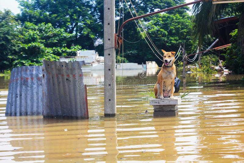 Dog is lost to the owner while flooding. A dog is lost to the owner while flooding stock images